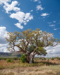 Boab Tree, El Questro Station, Kimberleys, Western Australia