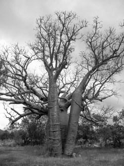 Boab Tree, Manning Gorge, Gibb River Road, Kimberleys, Western Australia