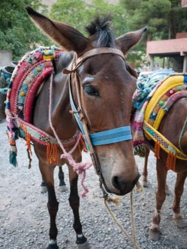 Mountain donkeys, Aroumd, Morocco