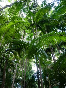 Canopy of Palms along the Minyon Loop Walking Track, Nightcap National Park