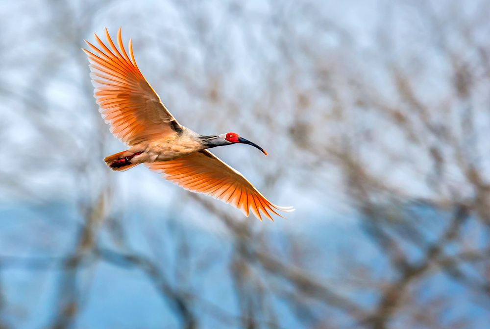 Crested Ibises and Little Egrets: Mixed-Species Flocks Are Beneficial