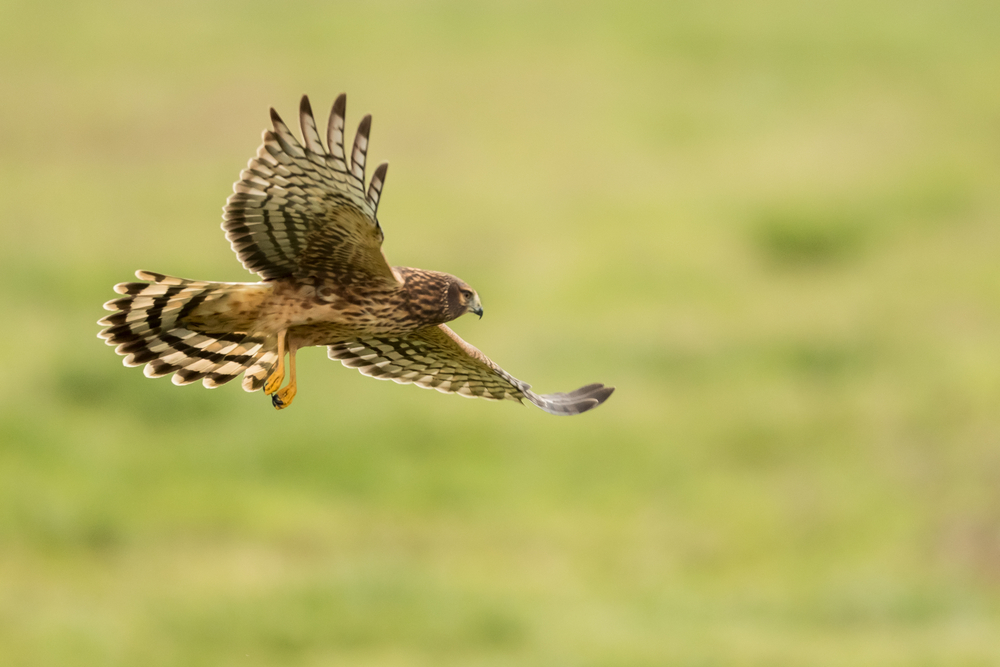 Birds of Prey are Becoming Prey in Scotland