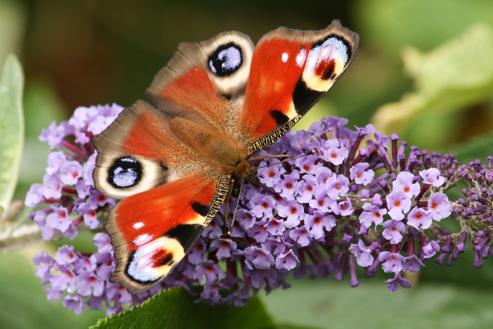 Citizen Scientists Are Helping to Gather Butterfly Population Information