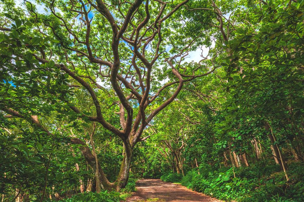 Hawaiian Acacia Koa trees are being harvested at an alarming rate