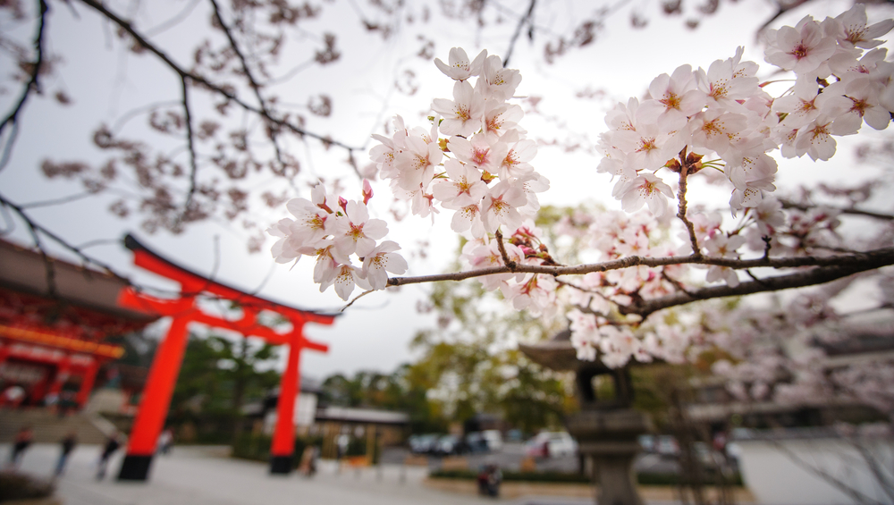 Cherry Blossoms Bloom in Japan, Worryingly Early