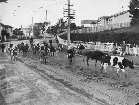 Cows being herded along Karori Road, Karori, Wellington