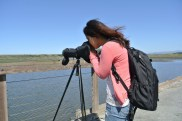 looking at marbled godwits through the scope