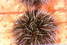 Purple sea urchins' tube feet (in red).