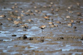 Dunlin and Western Sandpipers