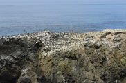 Thousands of murres on water after eagle disturbance cleared off more than 50% off the rock