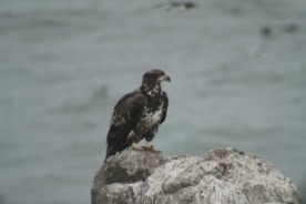 Juvenile bald eagle on Flat Top roosting, waiting to make an attack