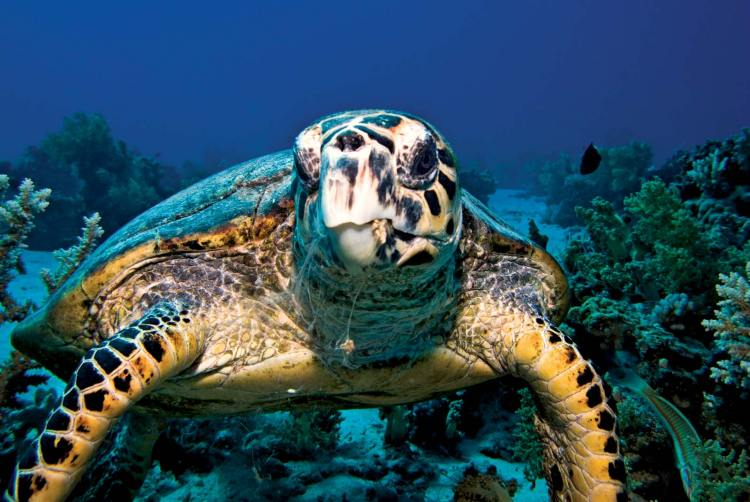 Hawksbill-sea-turtle-endangered-species-in-the-philippines