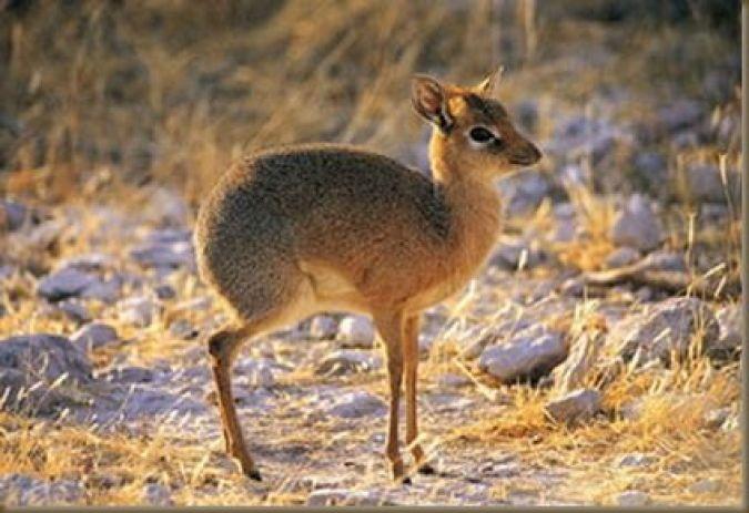 babalac-mouse-deer-pilandok-philippine-mouse-deer