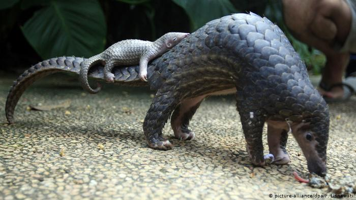 pangolins-endangered-animals-in-africa