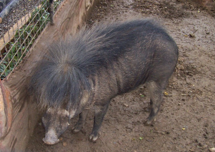 philippine-warty-pig-endangered-animals-in-the-philippines