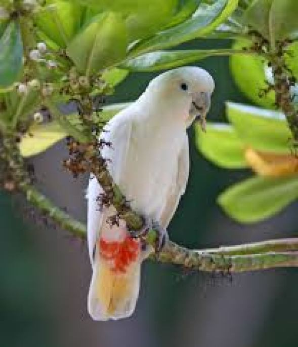 red-vented-cockatoo-philippinecockatoo-endangered-species-in-the-philippines
