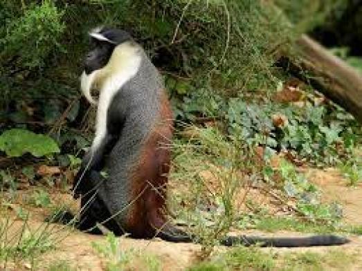 roloway-monkey-endangered-animals-in-africa