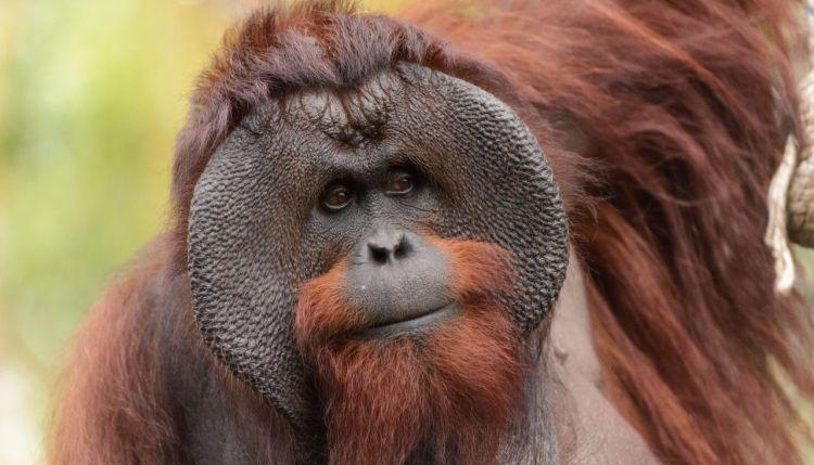 sumatran-orangutan-vs-bornean-orangutan