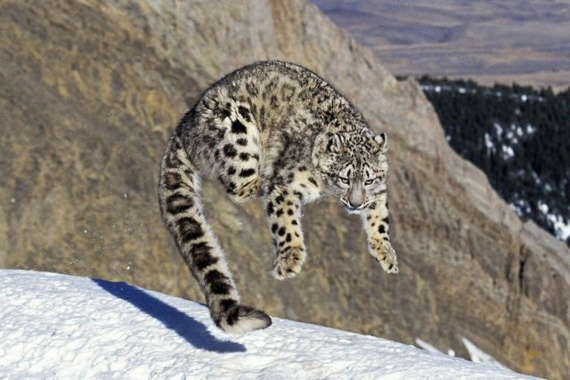 snow-leopard-endangered-animals-in-india
