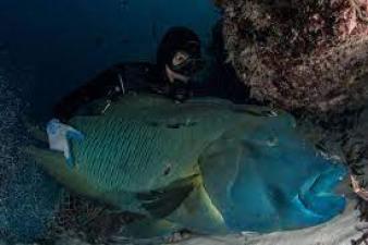 humphead-wrasse-endangered-marine-animals