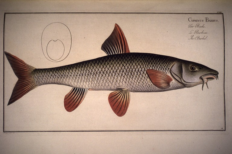 https://i1.wp.com/environnement.ecole.free.fr/images%202bg/dessins%20gravures%20poissons/Cyprinus%20barbus.%20Der%20Barbe.%20Le%20barbeau.%20The%20barbel.jpg