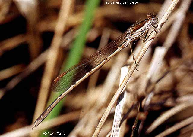Brown emerald damselfly
