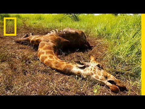 These Rare Giraffes Were Killed Just For Their Tails (Exclusive Video) | National Geographic