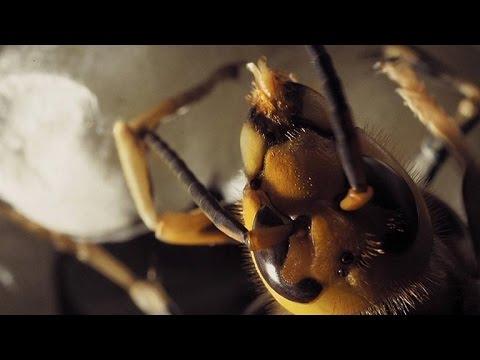 Cameras Capture A Hornet Hatching Up-Close