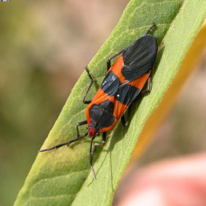 milkweed bug adult
