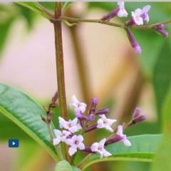 Plantas aromáticas Cidrón