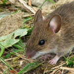Rodent Treatments