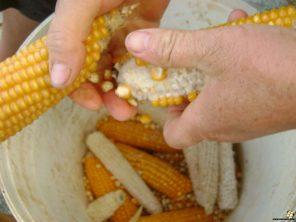 Debulha do milho.