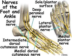 Ankle Anatomy   eOrthopod