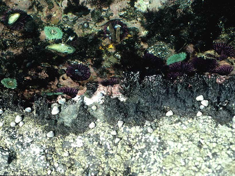 Tide pool in the University of California Bodega Marine Reserve.
