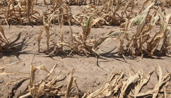 Cornfield dried up in heat wave of 2011 in Texas and Oklahoma.