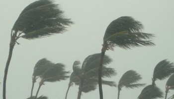 Palm trees blow sideways in tropical storm.