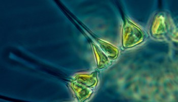Scientists analyze the role of ocean eddies in phytoplankton populations