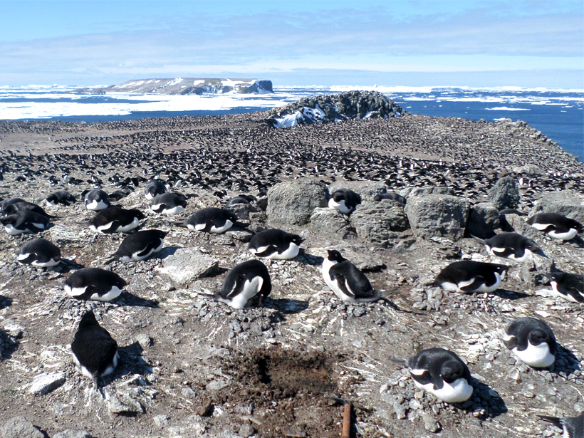 An excavation conducted at an Adélie penguin colony on Earle Island (one of theDanger Islands), Antarctica.