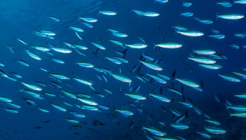 fish in healthy oceans Indonesia