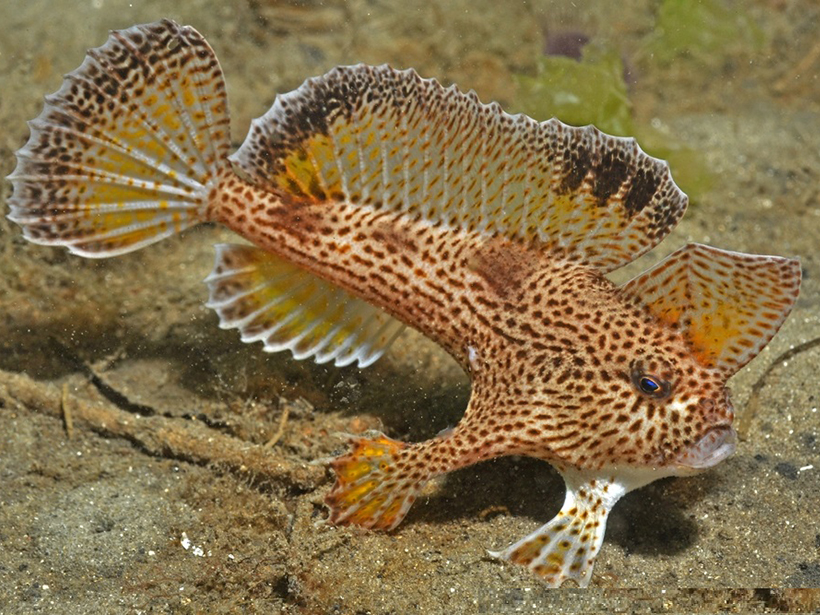 Seamap Australia assists efforts to protect species like the critically endangered spotted handfish.