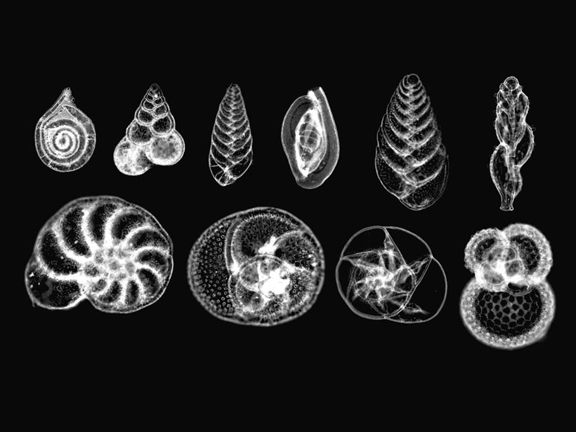 A photomicrograph of ten species of foraminiferans.