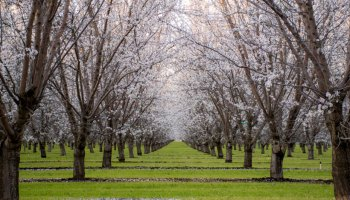 An almond orchard with trees in bloom