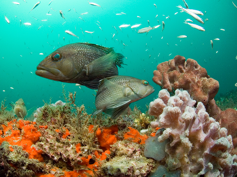 Black sea bass swimming above a coral reef