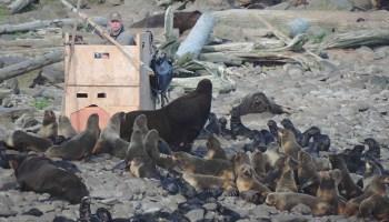 A scientist studies northern fur seals on Pribilof Islands in Alaska.