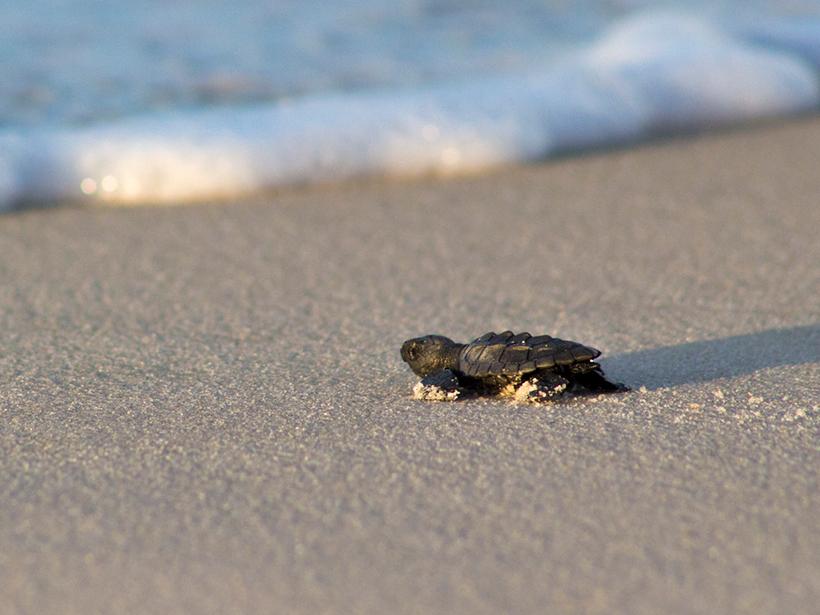 A loggerhead sea turtle hatchling scrambles toward waves on a beach.