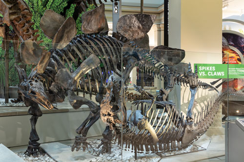Photo of a fossil display of dinosaurs fighting