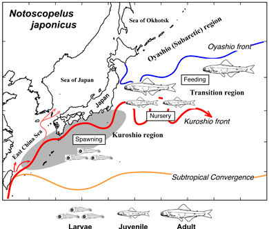 Possible spawning migrations of Notoscopelus japonicus