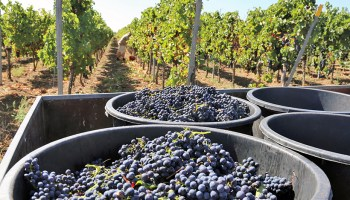 Baskets of purple grapes in front of a rich vineyard