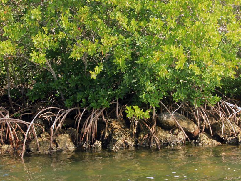 Green-leaved mangrove trees in Florida