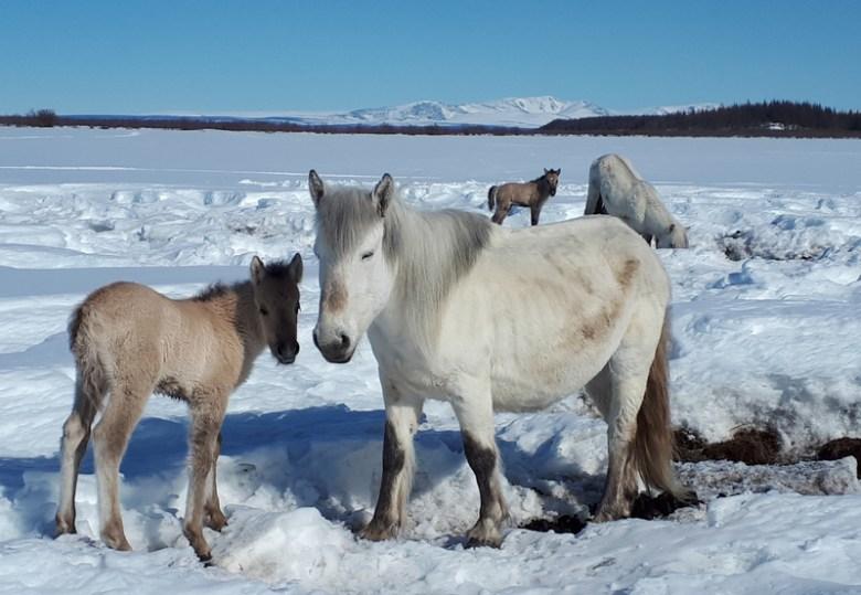 Horses trample snow at Pleistocene Park